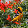 Hooded Oriole in Cape Honeysuckle-9118-Edit-Edit