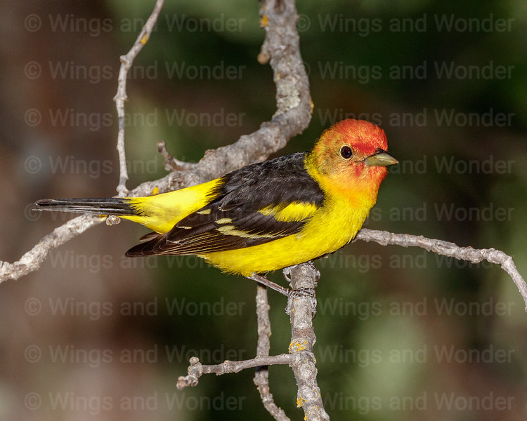 Western Tanager-5677