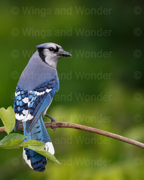 Blue Jay-6759-Edit-Edit