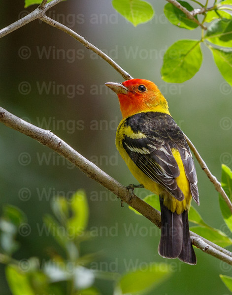Western Tanager-3829-Edit