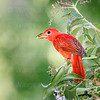 Summer Tanager-3789-Edit