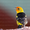 Western Tanager-7390-Edit-2