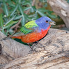 Painted Bunting-4859-Edit-3