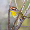 Rufous-capped Warbler-7335