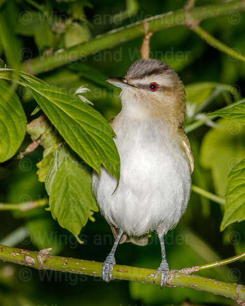 Red-eyed Vireo-0968