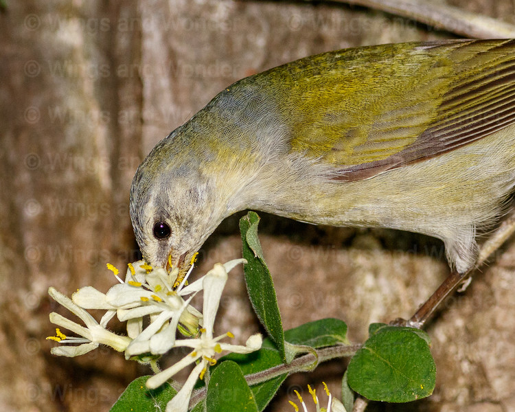 Tennessee Warbler-1204