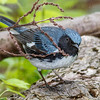 Black-throated Blue Warbler-0615