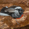 Painted Redstart-3171