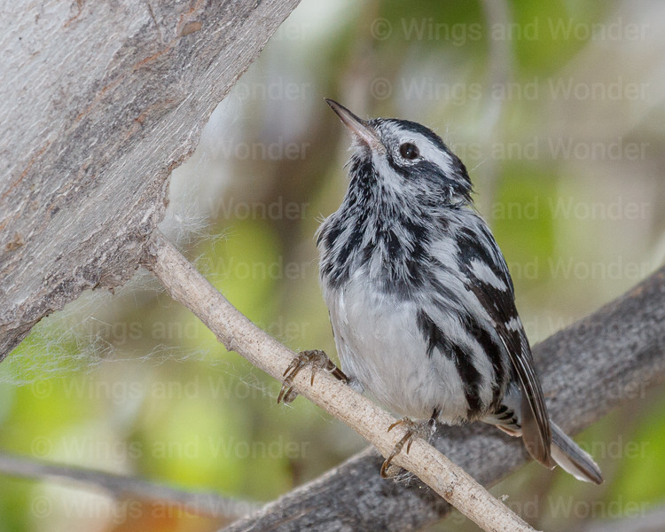 Black and White Warbler-0198