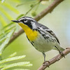 Yellow-throated Warbler-5932