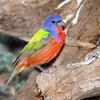 Painted Bunting - calendar 4890-