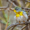 Northern Parula-0239-Edit-2