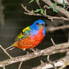 Painted Bunting 3550 ww-2