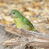 Painted Bunting - female-5350