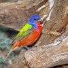 Painted Bunting-4890