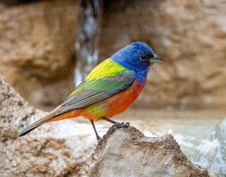 Painted Bunting 3505 ww-2