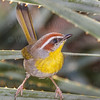 Rufous-capped Warbler-7322