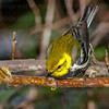 Black-throated Green Warbler-0427