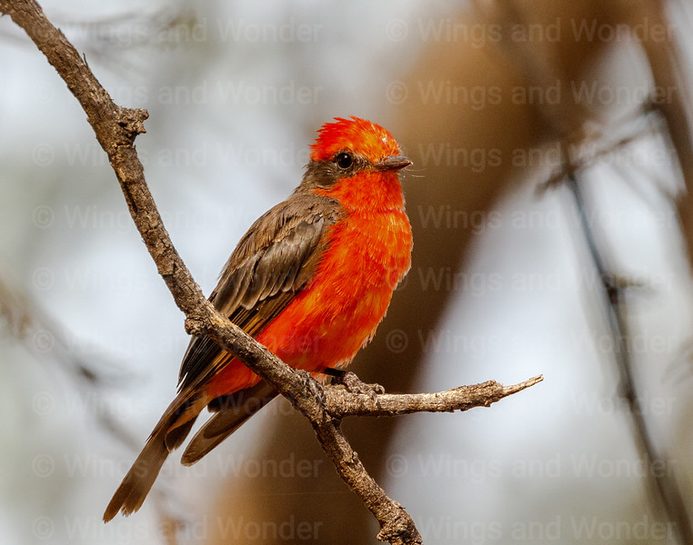Vermillion Flycatcher-3123