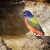 Painted Bunting - calendar 4983-4983-Edit