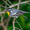 Yellow-throated Warbler-4034-Edit-Edit