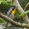 Yellow-throated Warbler-4055