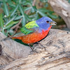 Painted Bunting-4859-Edit-4