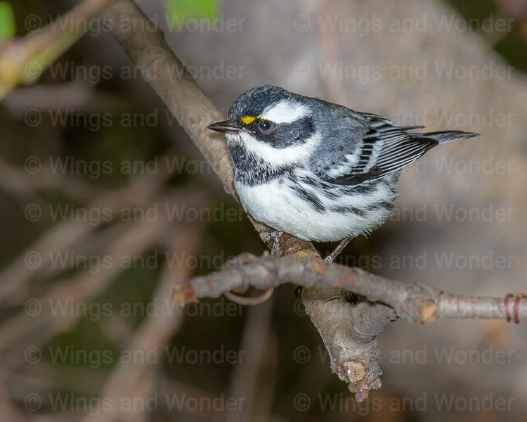 Black-throated Gray Warbler-6326