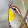 Rufous-capped Warbler-7329