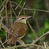 Swainson's Warbler-4108
