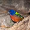 Painted Bunting 3547 ww-