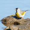 Lawrence's Goldfinch-0478