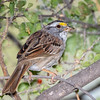 white-throated sparrow-3497