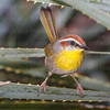 Rufous-capped Warbler-7323-2