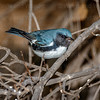 Black-throated Blue Warbler-3087