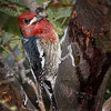 Red-breasted Sapsucker-1631-Edit-Edit-Edit