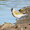 Lawrence's Goldfinch-0487