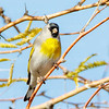 Lawrence's Goldfinch-1246