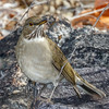 White-throated Thrush-7570