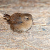 Pacific Wren-7439-Edit
