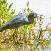 Little Blue Heron swallows a bite-8101
