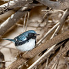 Black-throated Blue Warbler-3065