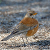 Rufous-backed Robin-1116