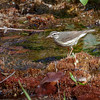 Louisiana Waterthrush-1208