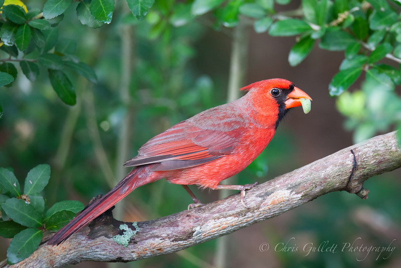 Cardinal With Lunch