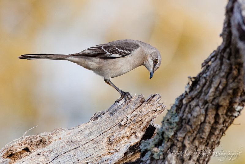 Mockingbird Hunting
