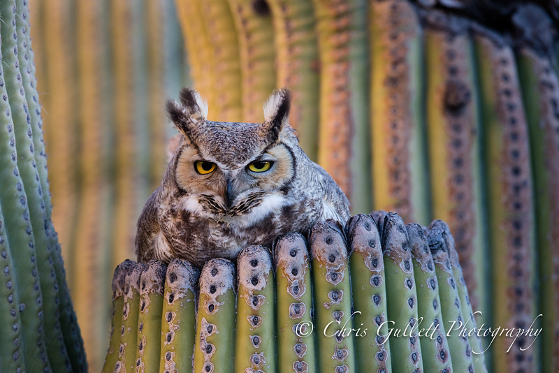 Great Horned Owl Nesting in a Saguro Cactus