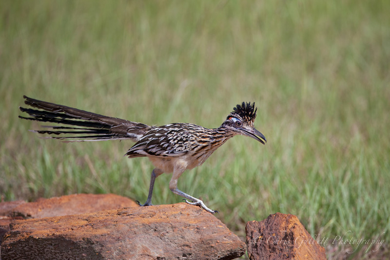 Roadrunner On Rock