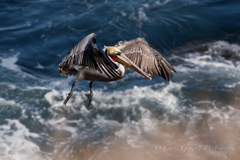 California Pelican