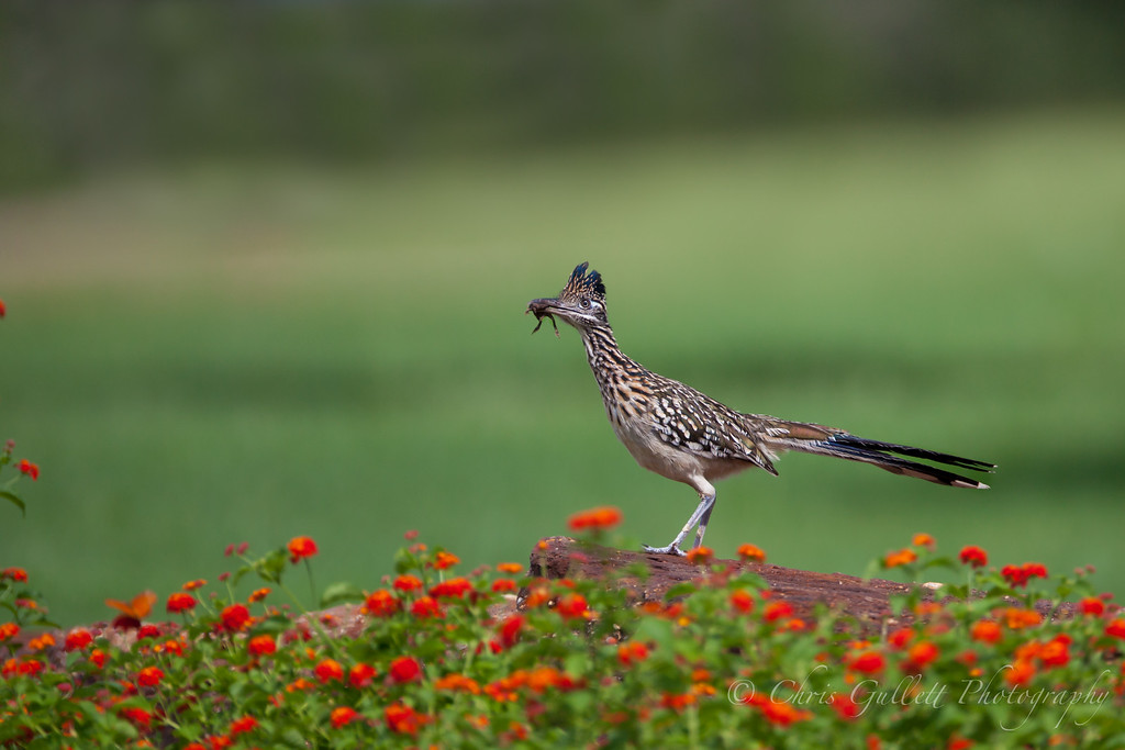 Roadrunner With Lunch